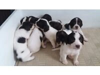 ENGLISH SPRINGER SPANIELS PUPPIES FOR SALE