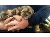 lovey shitzuxyorkiey puppies