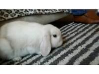 Giant white rabbit £35