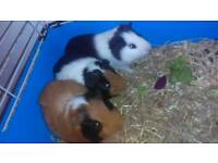 Guinea pigs with cage