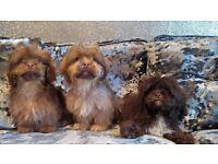 Stunning Chocolate KC Registered Shih Tzu Puppy Boys