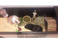2 beautiful male guinea pigs