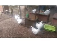 ONLY ONE LEFT White Silkie Cockerel For Free to good New Owner!!