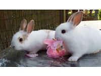 English Spot Baby Rabbits, 8 weeks old - 2 remaining and available to leave home now