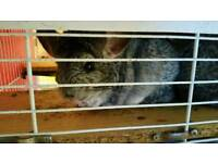 Pair of male chinchillas and cage