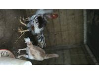 Shomo v Necky Game fowl