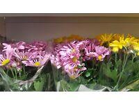 Chrisantemum in flowers