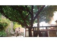 JAPANESE PAPER TREE