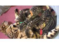 Brown rosete leopard Bengal kitten cat boy & girl June