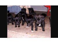 10 black Labrador puppies for sale