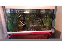 Fish tank with 2 Tiger Oscar fish