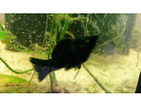TROPICAL FISH BLACK AND WHITE OR BLACK 10 4 £5