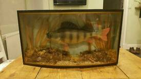 Victorian taxidermy fish