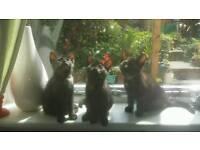 3 sister kittens for sale 8 weeks
