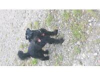 Miniature Schnauzer pups for sale. 4 black girls and 2 black boys