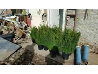 Hedge plants. Buxus