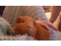 Single female guinea pig for new home