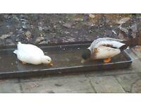 Call Ducks free to good home