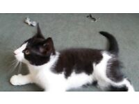 A Cute and Beautiful kitten looks like Felix