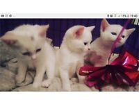 Gorgeous Pure White Kittens