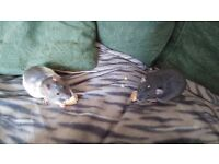 2 male rats & cage for sale