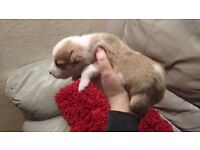Border Collie x puppies