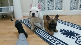 French Bulldog Puppies 2 Male 2 Female the parents can be view 3Red 1White