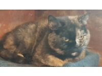 British Shorthair Adults looking for new homes