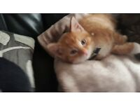 Ginger kitten for sale 12 weeks old