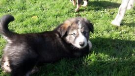 Gorgeous puppies Huskamute kelpie hunterway cross.