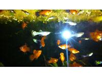 Platies/Live tropical fish