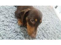 Duchshund dog for sale