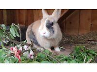 Dwarfs bunnie rabbits for sale.