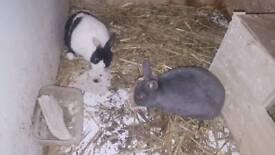 Pair of Dutch cross rabbit