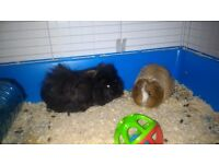 2 Guinea Pigs needing a good home