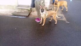 Belgium Malinois puppies