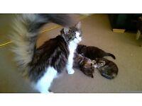 Two Gorgeous Girl Half Norwegian Forest Kittens For Sale
