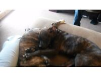 Staffie boxer pup