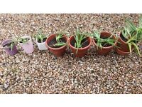 Aloe Vera plants - free on collection (1 per person) - good for skin and air in home!