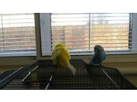 male and female budgies