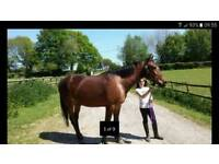 16hh thoroughbred bay gelding