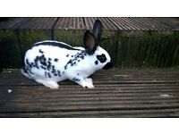 Baby English Spot Rabbits for sale