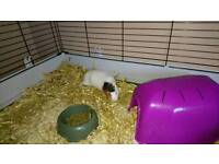 2female guinea pigs 4month