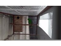 Pair of eclectus parrots £700