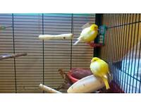 Canaries and aviary for sale