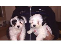 2 shih tzu cross bichon frise pups for sale