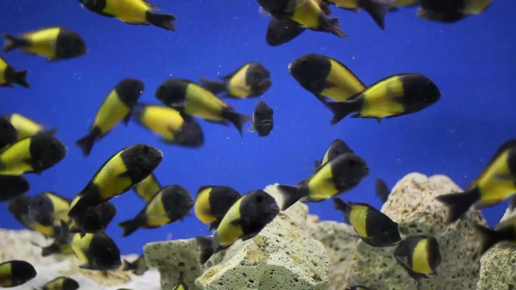 Cichlid Fish For Sale Cichlids Fish For Sale