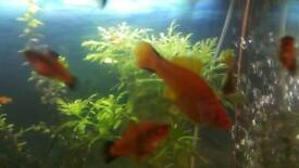 swordtail fish