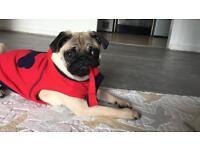 Beautiful KC Pug puppy
