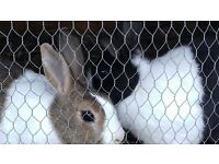 x2 Dutch Rabbits for sale